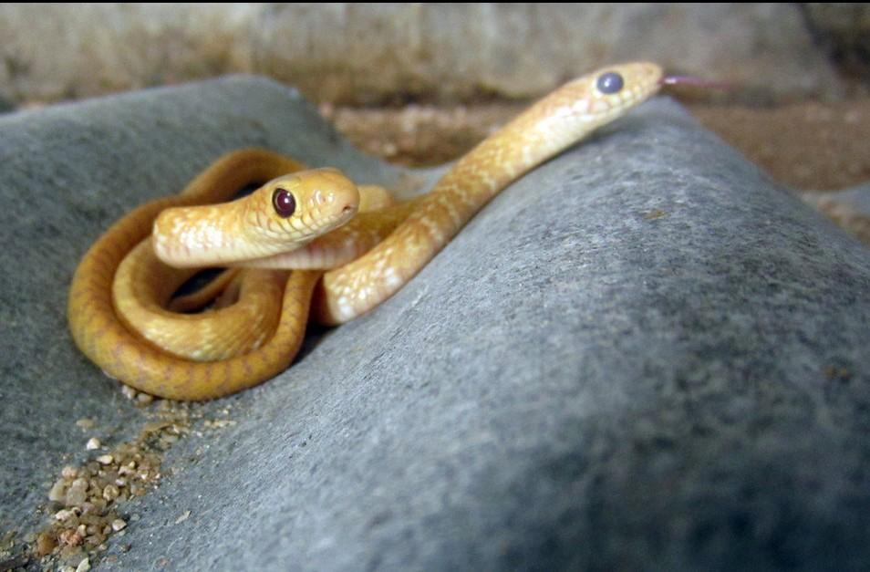 福建龙海草花蛇产下罕见金黄色小蛇